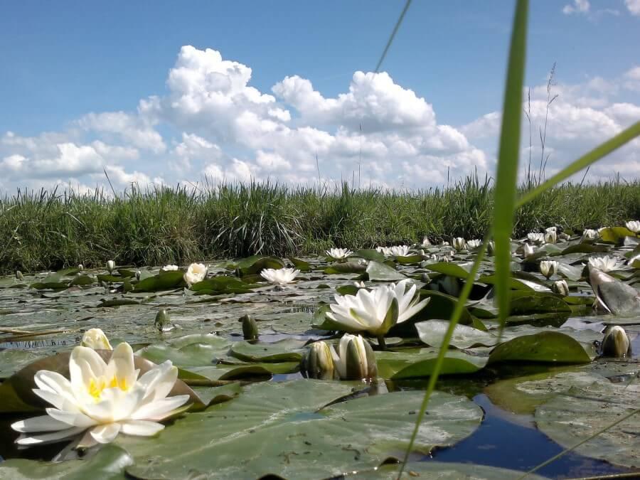 Frieslands trots, de lelie met het pompebled