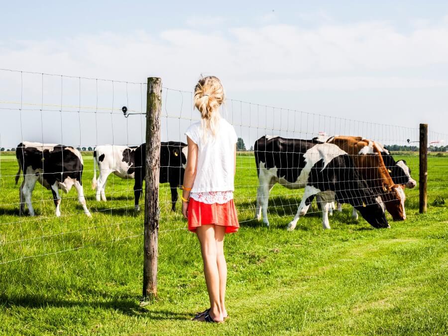Koeien in de wei voor uw vakantiehuis